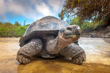 Wyspy galapagos. Żółw Galapagos. Wielki żółw. Ekwador.