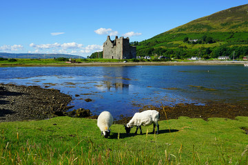Traditional Scottish landscape with sheep grazing in front of the Lochranza Castle ruins and the water in Arran, Scotland
