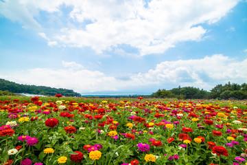 百日草の景色