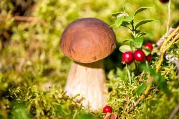 Picking mushrooms and cranberries in forest in early autumn. Last sunny summer days. Mushrooms and berries are growing in warm green, thick, wet moss layer. Perfect weather for outdoor activities
