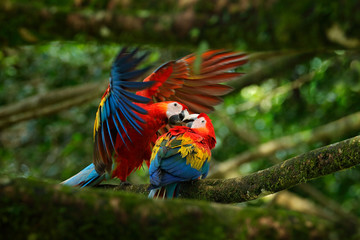 Two beautiful parrot on tree branch in nature habitat. Green habitat. Pair of big parrot Scarlet Macaw, Ara macao, two birds sitting on branch, Brazil. Wildlife love scene from tropic forest nature.