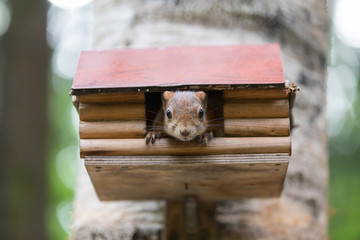 Portrait of squirrel looking out of a small house