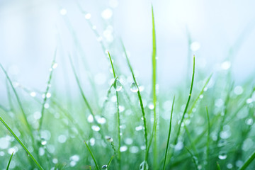 Fresh wet grass in the early morning with droplets of dew close up of a macro with a soft focus on a light blue background. Elegant delicate gentle abstract nature background.