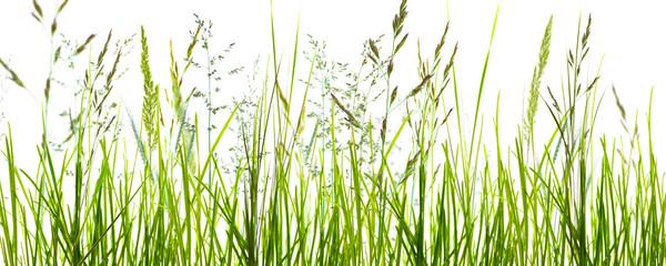 trawy, źdźbła trawy, łąka na białym tle