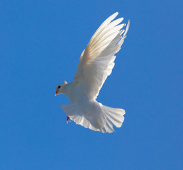 White dove in flight against a blue sky
