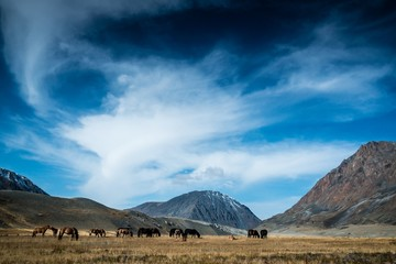 Wild horses grazing in Mongolian valley with beautiful skies