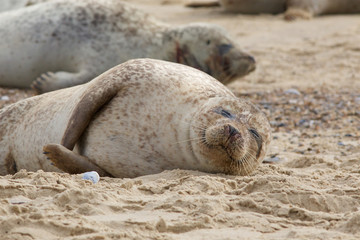 A Grey Seal, Halichoerus grypus, relaxing on the beach.