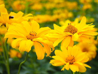 Yellow flowers of heliopsis closeup. Summer and autumn flowers.