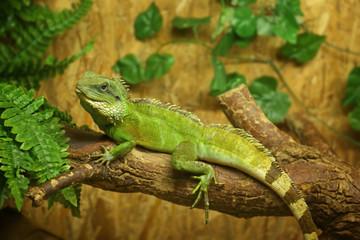 Iguana in zoological garden