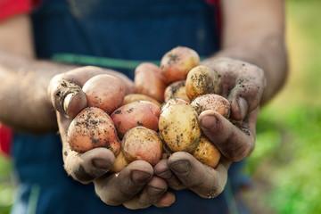 Potato in hands of a farmer
