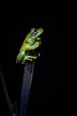 Frosch im Schein der Taschenlampe, Peruanischer Amazonas