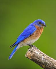 Eastern Bluebird Perched on Broken Branch