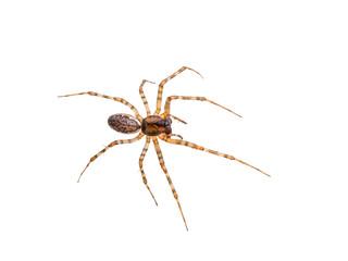 Long-Legged Crawling Spider Isolated on White