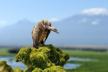 Vulture, big birds of prey sitting on rock mountain, on Kilimanjaro mount background
