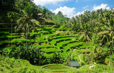 Beautiful rice terraces in the morning at Tegallalang village, Ubud, Bali, Indonesia.