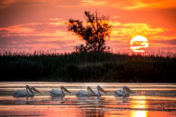 Pelican colony at sunrise in Danube Delta, Romania
