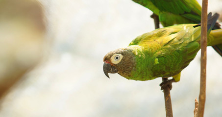 Small green, yellow and blue parrot standing on a branch in the Ecuadorian Amazon