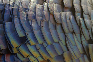 color turkey feathers