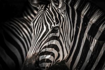 High contrasty zebra portait
