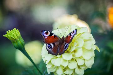 Motyl rusałka pawik na żółtym kwiatku