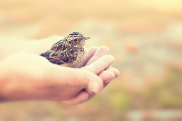 Sparrow sitting in human`s hand.