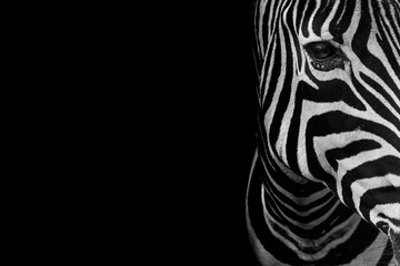 portrait of zebra. Black and white version.
