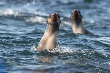Tyuleny Island, Sea of Okhotsk, Russia Aug 26 2017 inquisitive sea lions