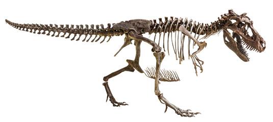 Tyrannosaurus Rex skeleton on isolated background