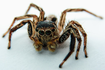 Close up of jumping spider on white background, selective focus and extreme DOF