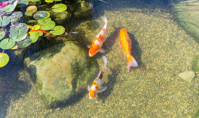 Decorative fish in pond