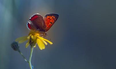 Leuchtender Schmetterling - Feuerfalter