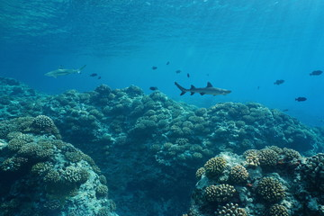 Underwater seascape sea life on the outer coral reef of Huahine island, south Pacific ocean, French Polynesia, Oceania