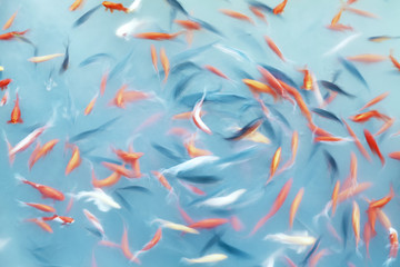 Abstract artistic background made of motion blur fish swimming in a pond, color toning applied.