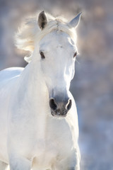 White horse portrait in motion in winter frost day