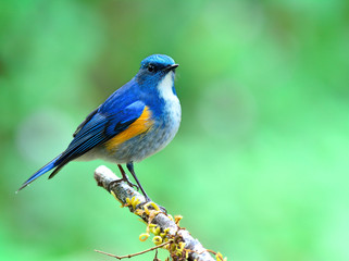 Himalayan bluetail or orange-flanked bushrobin (Tarsiger rufilatus) beautiful chubby blue bird perching on vine branch over fine blur green background in early morning lighting, exotic nature