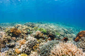 Thriving, healthy tropical coral reef in Komodo, Indonesia