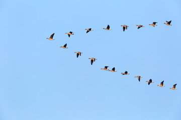 flock of wild geese flying