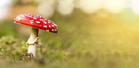 Poisonous red and white fly-agaric mushroom in Autumn