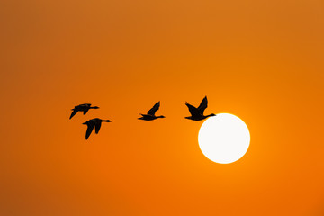 wild geese in sunset