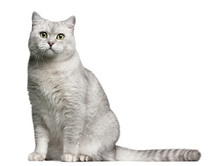 British Shorthair cat, 4 years old, sitting in front of white background