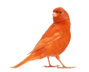 Red canary, Serinus canaria, against white background