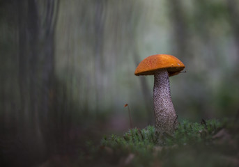 In the gray wood.The handsome an aspen mushroom grows in the gray autumn wood.