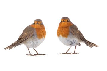 Two European robin (Erithacus rubecula)