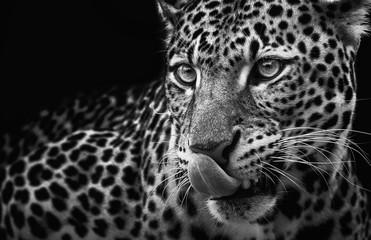 Leopard portrait on dark background. Panthera pardus kotiya, predator licked