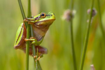 Climbing Green tree frog looking in camera