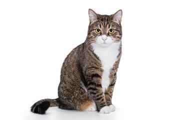 Portret poważny szary kot ja