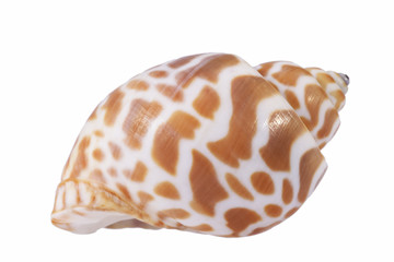Sea shell of marine snail  isolated on white background