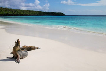 Galapagos sea lions on the beach at Gardner Bay, Espanola Island, Galapagos National park, Ecuador