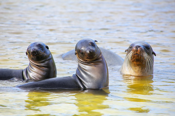 Galapagos sea lions playing in water at Gardner Bay, Espanola Island, Galapagos National park, Ecuador