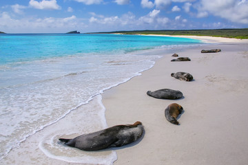 Group of Galapagos sea lions resting on sandy beach in Gardner Bay, Espanola Island, Galapagos National park, Ecuador